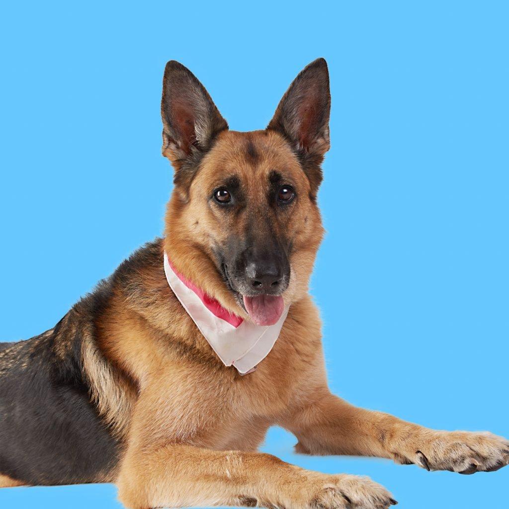 myah large(german shepherd)